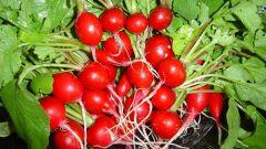 Как получить три урожая редиса за сезон