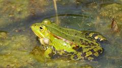 Зачем лягушка высовывает голову над поверхностью воды
