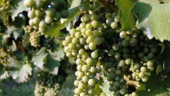 Как справиться с болезнями винограда