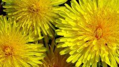 How to get rid of dandelions in the garden