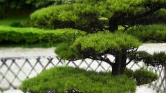 Как посадить на участке хвойные породы деревьев