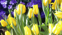 Как правильно сажать желтые тюльпаны