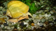 How to feed aquarium snail