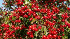 Что приготовить из ягод боярышника