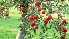 Как ухаживать за садовыми деревьями