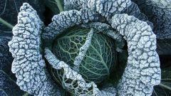 Как вырастить савойскую капусту на своем участке