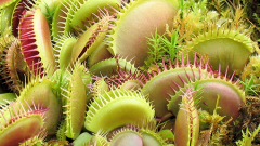 How to grow carnivorous flower in the house: Venus flytrap