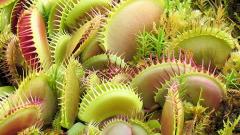 Как выращивать хищный цветок в доме: Венерина мухоловка