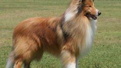 Какая порода собак самая умная