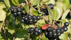 Чем полезна черноплодная рябина