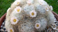 Маммиллярия плюмоза: как из перьев растут цветы