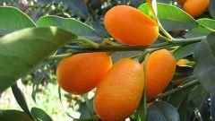 Кумкват: это что за фрукт
