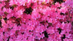 Цветущая зима, или немного слов об азалии