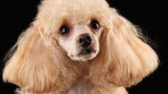 Какая порода собаки подходит для аллергиков