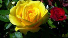 Как укрыть розы зимой