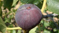 Полезные свойства и применение инжира