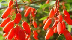 Полезные и лечебные свойства барбариса