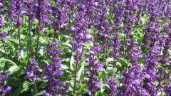 Свойства и применение травы шалфея лекарственного