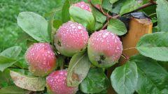 Как защитить яблоню