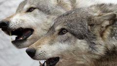 Как волк охотится