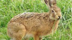 Как живут зайцы