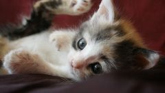 How you get rid of fleas in a kitten at home