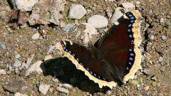 Как выглядит бабочка траурница