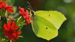 Как выглядит бабочка лимонница