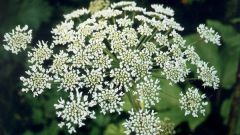 How to withdraw Hogweed