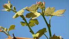 Как вырастить виноград в Подмосковье