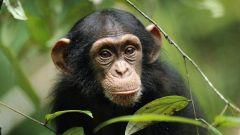Как видят обезьяны