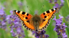 Как выглядит бабочка крапивница