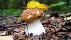 Как растет белый гриб