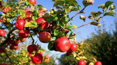 Как привить яблоню осенью