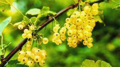 Как посадить смородину осенью