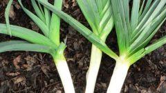 Лук порей: выращивание, уборка, хранение