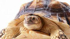 Как ухаживать за сухопутными черепахами