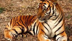 Почему тигр полосатый