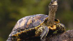 Как ухаживать за домашней черепахой