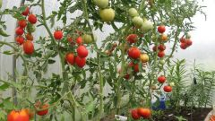 How to water tomatoes in the greenhouse