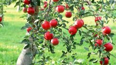 How to save the Apple tree