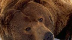 Почему медведь спит