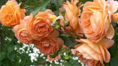Как обрезать розы осенью