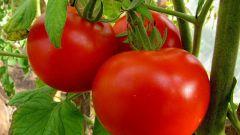 Как правильно посадить томаты