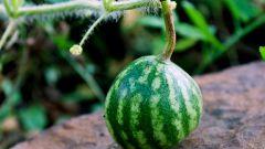 Как на даче вырастить арбузы