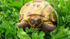 Куда отдать черепаху