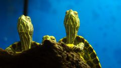 How to change the water in the aquarium for turtles