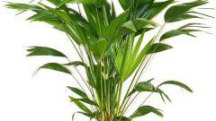 Как ухаживать за домашними пальмами