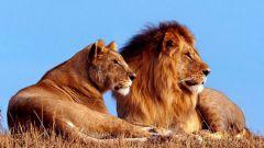 Как охотятся львы