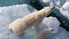 Какие животные в Арктике